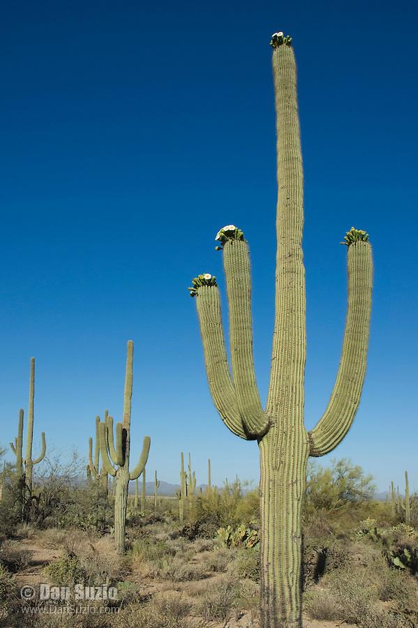 Blooming saguaro cactus, Carnegiea gigantea. Saguaro National Park, Arizona