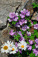 SE - Bohuslän<br /> Beautiful composition of summer flowers in a rock cleft <br /> <br /> Full size 69,3 MB