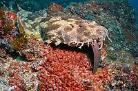 spotted wobbegong, Orectolobus maculatus, endemic species, eating Abbotts moray eel, Gymnothorax eurostus, Nine Mile Reef, Tweed Heads, New South Wales, Australia, South Pacific Ocean