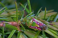 Buntrock, Buntrock-Wanze, Cyphostethus tristriatus, juniper shield bug, Stachelwanzen, Bauchkielwanzen, Acanthosomatidae