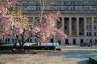 Cherry Blossom tree in Rawlins Park with the department of the interior on background