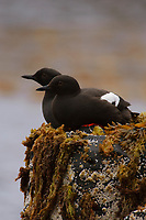 Pair of Pigeon Guillemots (Cepphus grylle) resting on coastal rocks. St. Lazaria Island. June.