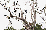 Damon, Texas; a flock of wood storks lift their wings to fly after roosting in a leafless live oak tree in the pasture on an overcast early morning