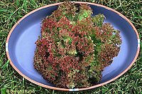 HS21-483x  Lettuce - Lollo Rossa variety