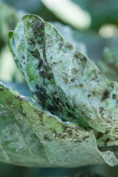 Black sooty mould forming on the sticky honeydew excreted by cabbage whitefly, Brussels sprout leaves, late September.