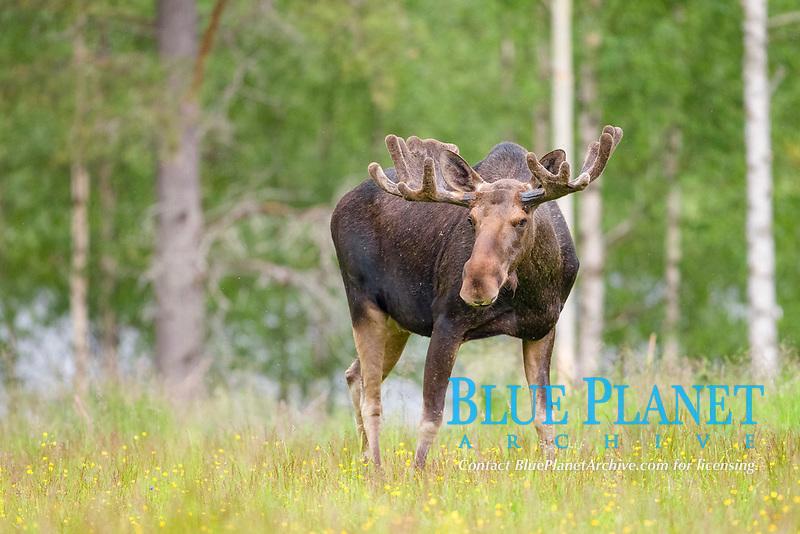 Eurasian Elk or Moose (Alces alces), bull, Lappland, Sweden, Europe