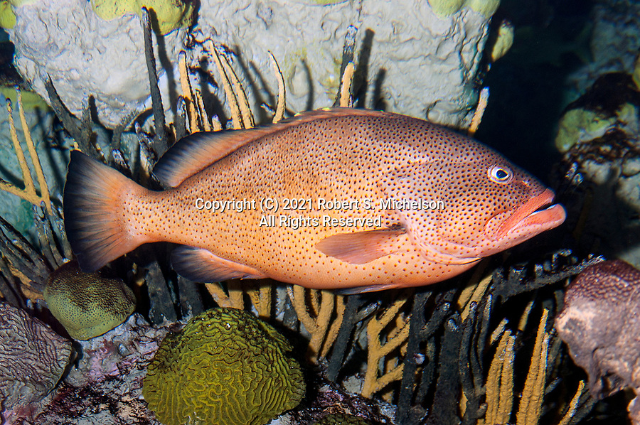 Red hind swimming right over coral reef bottom.