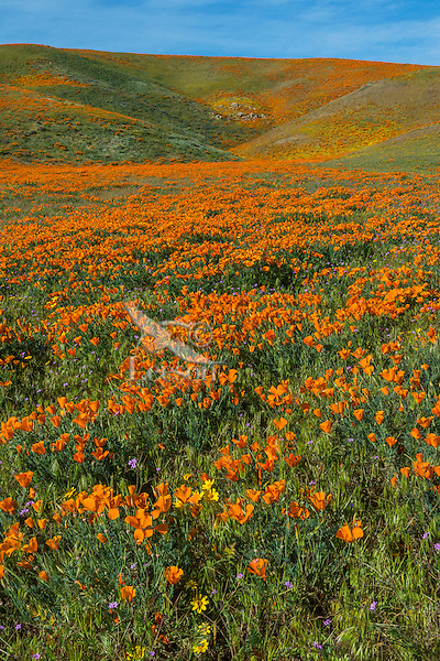Wild California Poppies (Eschscholzia californica) along with a few goldfields (yellow) and filaree (lavendar).  California.  Spring.  Photo taken near the Antelope Valley California Poppy Reserve.