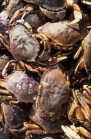 USA/Etats-Unis/Alaska/Gustavus : Retour de pêche de King Crab le crabe royal