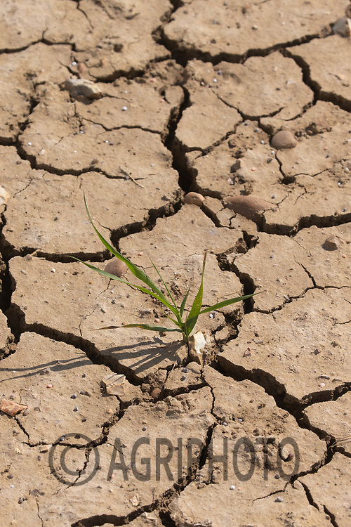30-4-2021 Drought affected soil and cereal plants,<br /> ©Tim Scrivener Photographer 07850 303986<br />      ....Covering Agriculture In The UK....