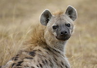 Spotted Hyena (Crocuta crocuta), portrait, Masai Mara, Kenya, Africa
