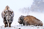 Female American bison (Bison bison) covered in hoar frost (temperature -25 Celcius) near a hot spring. Midway Geyser Basin, Yellowstone National Park, Wyoming, USA.