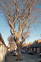 A mature Sycamore tree in a Dublin street, Ireland. Autumn.