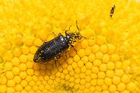 Wollhaarkäfer, Haarkäfer, Wollhaar-Käfer, Blütenbesuch auf Margerite, Dasytes cf. niger, Melyridae, soft-wing flower beetles