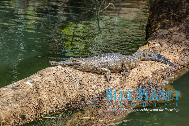 Adult wild freshwater crocodile, Crocodylus johnsoni or Crocodylus johnstoni, Ord River, Kimberley, Western Australia, Australia