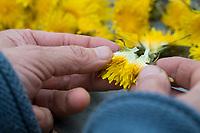 Löwenzahnblüten, Löwenzahn-Blüten, Blüten, werden auseinander gezupft, Löwenzahn-Ernte, Löwenzahnernte, Kräuterernte, Kräuter sammeln, Löwenzahn, Wiesen-Löwenzahn, Wiesenlöwenzahn, Gemeiner Löwenzahn, Gewöhnlicher Löwenzahn, Kuhblume, Taraxacum officinale, Taraxacum sect. Ruderalia, Dandelion, common dandelion, Dent de lion