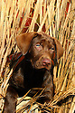 00975-016.01 Labrador Retriever: Chocolate Lab puppy is peering from blind.  Hunt, dog, new.