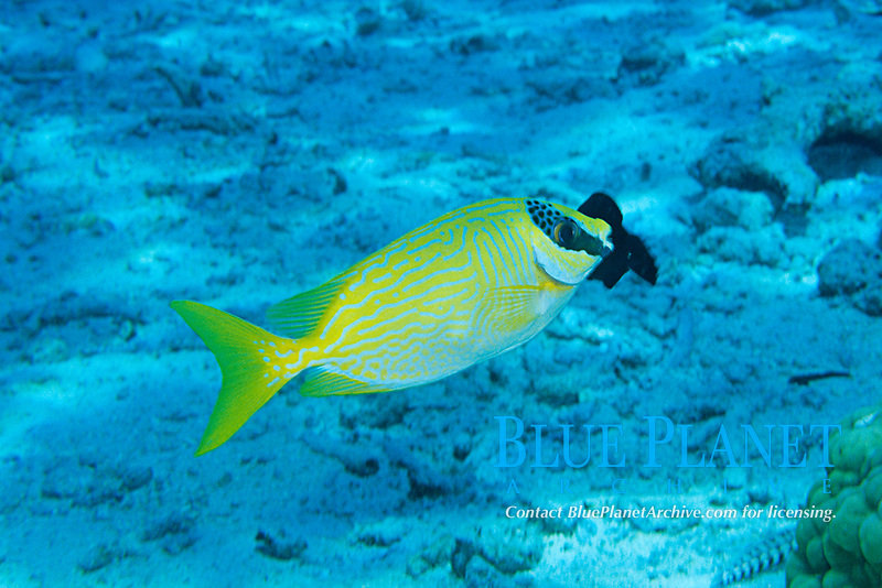 masked rabbitfish, or bluelined spinefoot, or maiden spinefoot, Siganus puellus, Bunaken Island, Sulawesi, Indonesia, Pacific Ocean