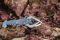 Europäischer Hummer, Homarus gammarus, Homarus vulgaris, common lobster, European clawed lobster, Maine lobster, Le homard européen