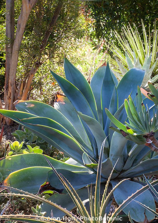 Agave attenuata 'Boutin Blue' (Fox tail Agave) in Bancroft Garden, Walnut Creek, California
