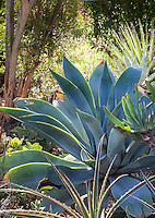 Agave attenuata 'Boutin Blue' (Fox tail Agave) in Bancroft Garden, Walnut Creek, California