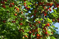 Ripe Nanking cherries, Prunus tomentosa, tree in summer, Loveland CO, USA