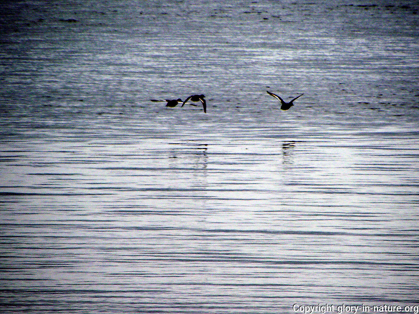 These ducks flying low over the lake at sunset project a stirring silhouette.