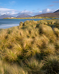 Isle of Lewis and Harris, Scotland: Beach grasses in the wind of Luskentyre beach on South Harris Island