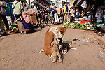 In India most free-roaming dogs are related to the Pariah dog, an ancient feral canine of Asia and Africa. Some are abandoned pets, some are pets of slumdwellers, and the survivors are very savvy street dogs who have learned to fend for themselves. There are nonprofits and governmental agencies working to control dog populations in humane ways through spay/neuter and adoption programs as well as educational programs for humans, Varanasi, India.