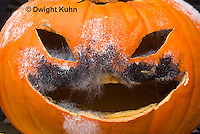 DC09-635z   Jack-o-Lantern Pumpkin placed in garden after Halloween. Molds growing on face,  Black Bread Mold, Rhizopus stolonifer
