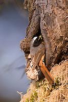 Gartenrotschwanz, Garten-Rotschwanz, Rotschwänzchen, Männchen, am Eingang zur Nisthöhle, Nest in ausgemorschtem Astloch eines Apfelbaumes, Phoenicurus phoenicurus, Redstart, Rougequeue à front blanc