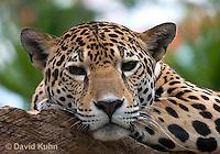 0522-1105  Goldman's Jaguar, Belize, Panthera onca goldmani  © David Kuhn/Dwight Kuhn Photography