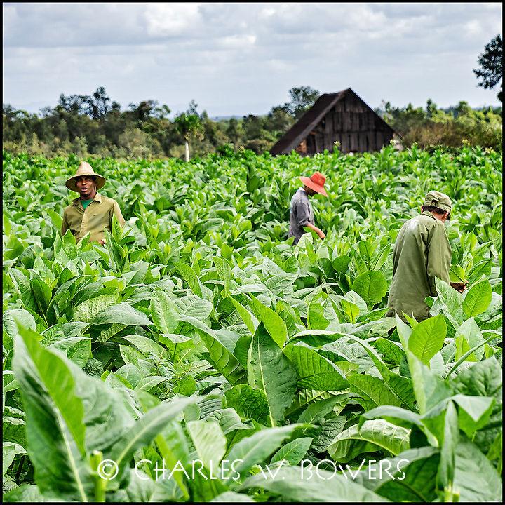 Faces Of Cuba - working the tobacco fields. Harvest soon.<br /> <br /> - Limited edition of 50 prints.