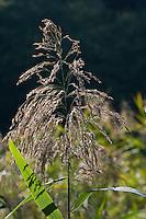 Gewöhnliches Schilf, Rohr, Schilfrohr, Phragmites australis, Phragmites communis, Reed, Reed Grass, Roseau