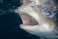 Lemon shark portrait showing teeth, Negaprion brevirostris, Little Bahama Bank, Bahama Islands, Bahamas, Caribbean, Atlantic