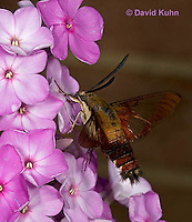 0903-0803  Flying Hummingbird Clearwing Moth Feeding on Nectar, Hemaris thysbe © David Kuhn/Dwight Kuhn Photography.