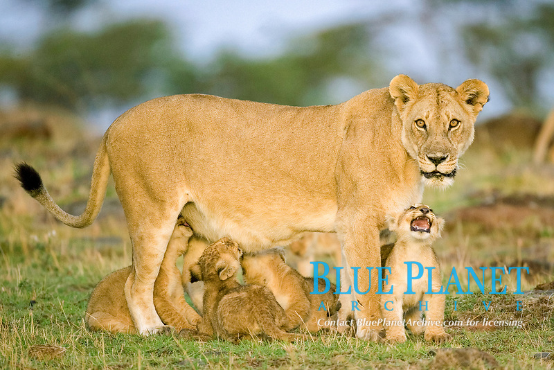 African lions (Panthera leo), lioness and cubs, Massai Mara Game Reserve, nian lion, lioness, Kenya, Africa