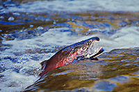 Male Coho or Silver Salmon (Oncorhynchus kisutch) migrating towards spawning beds..Pacific Northwest.