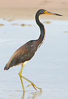 Tricolored heron in breeding plumage walking in a pool