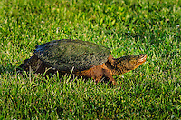 Common Snapping Turtle (Chelydra serpentina) walking through grass, spring, Great Lakes region, North America.