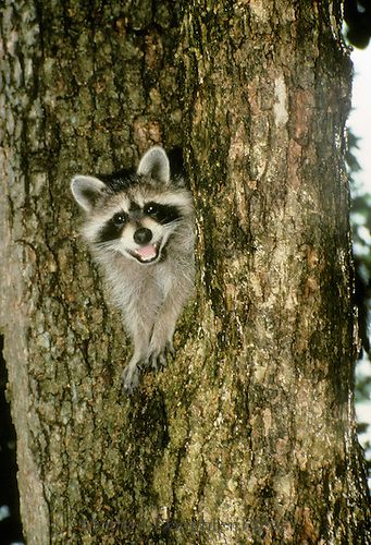 Laughing Raccoon, Pyron locomotor, climbing out of hole in tree