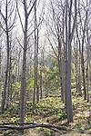 Pochote Trees