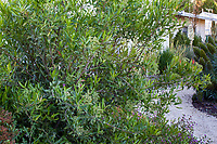 Vauquelinia californica - Arizona Rosewood, Evergreen shrub, South Coast Research and Extension Center; University of California ANR