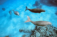 a small herd of dugongs, or sea cows, Dugong dugon, Indo-Pacific Ocean