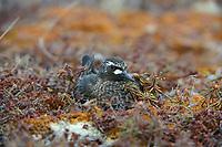 Black Turnstone (Arenaria melanocephala) incubating eggs on teh nest. Yukon Delta National Wildlife Refuge, Alaska. June.