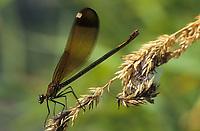 Bronzene Prachtlibelle, Braune Prachtlibelle, Rote Prachtlibelle, Weibchen, Calopteryx haemorrhoidalis, Calopteryx haemorrhoidale, copper demoiselle, female, le Caloptéryx méditerranéen