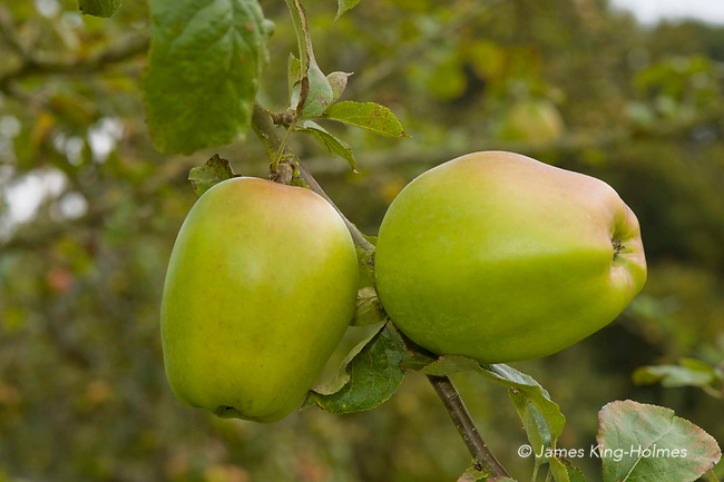 Catshead apples. An ancient variety of English apple believed to date from the 17th Century and also grown by settlers in America.