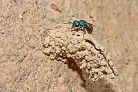 Goldwespe, Chrysis spec., gold wasp, Goldwespen, Chrysididae, cuckoo wasp, cuckoo wasps