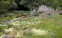 Spring meadow garden with wildflowers and dry creek as rain garden, bioswale, Menzies California native plant garden
