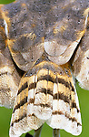 Close-up of a barn owl tail, which can be found on all continents.